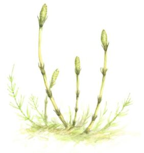 Roślina skrzypu polnego