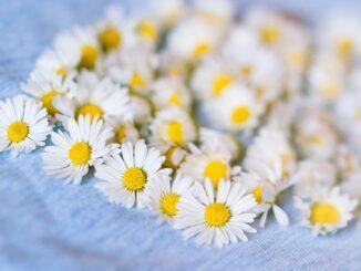 kwiaty rumianku jako środek na problemy żołądkowe